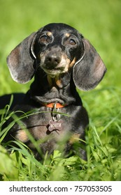 Dachshund on a background of green grass