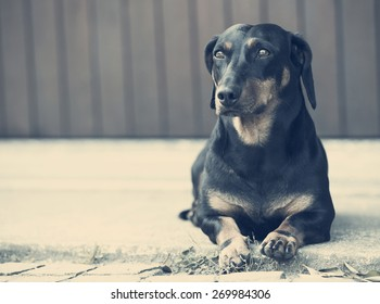 dachshund on concrete waiting is owner .