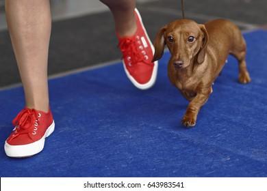 Dachshund on  dog show