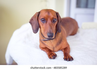 dachshund on the mat
