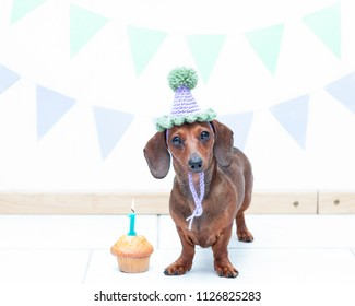 Dachshund with a party hat and birthday cake