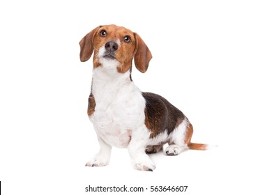 Dachshund piebald dog in front of a white background