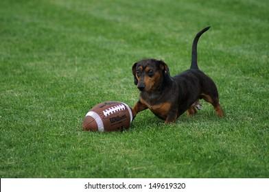 Dachshund play the football
