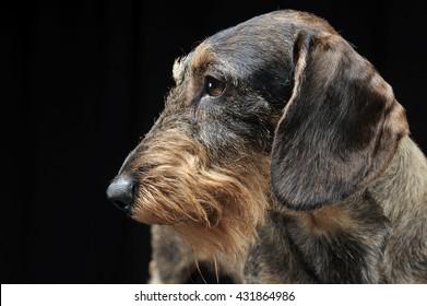 Dachshund portrait in the black photo studio