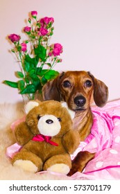 Dachshund Princess in a pink dress. Valentine's Day