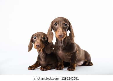 Dachshund puppies on a white background. Cute little dogs