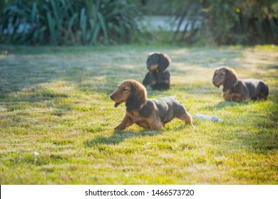 Dachshund puppies playing on the grass