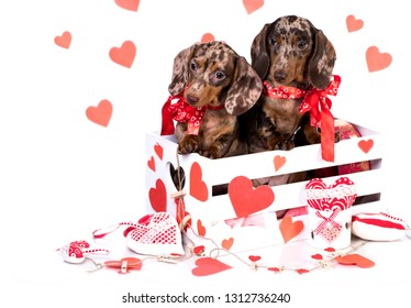 dachshund puppies in Valentine`s Day greeting card