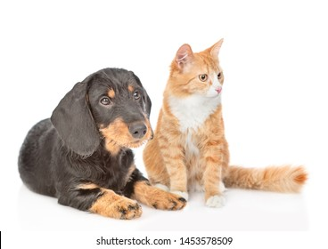 Dachshund puppy and adult cat sitting together. isolated on white background