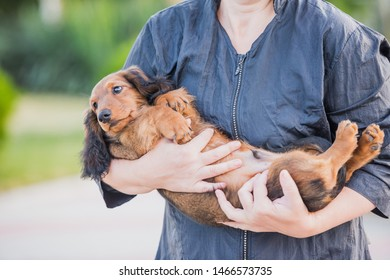 Dachshund puppy in the arms
