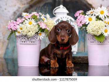 dachshund puppy brown tan color and flowers