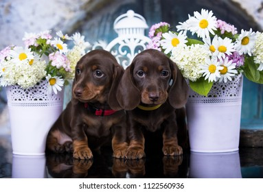 dachshund puppy brown tan color and flowers camomile