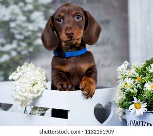 dachshund puppy brown tan color