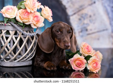 dachshund puppy brown tan color and tea roses