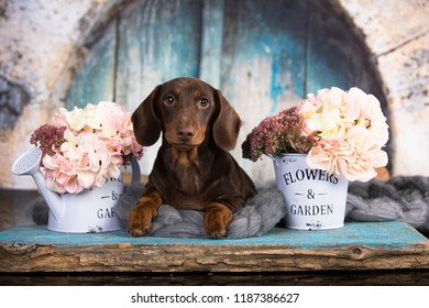 dachshund puppy brown tan color and flovers