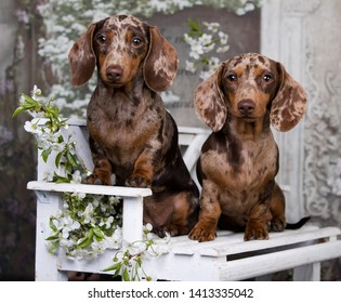 dachshund puppy brown tan merle color and spring flowers