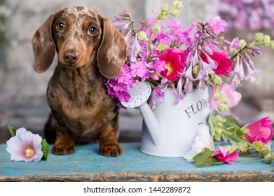 dachshund puppy brown tan merle color and roses flowers