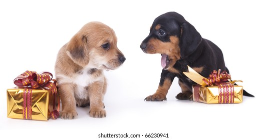 Dachshund  puppy and gifts in gold wrappers