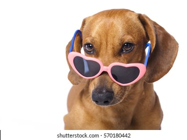 dachshund puppy in glasses