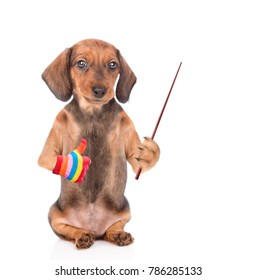 dachshund puppy holding a pointing stick and showing thumbs up. isolated on white background