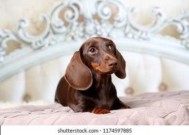 dachshund puppy lying in bed