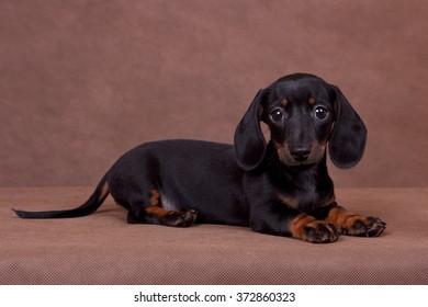dachshund puppy on a brown background