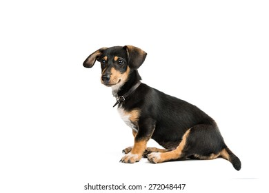 Dachshund puppy on a white background