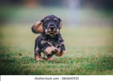 Dachshund puppy outside playing. Autumn photography. puppies in kennel.