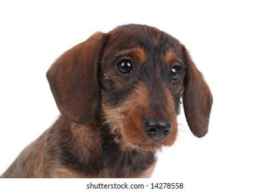 Dachshund puppy portrait