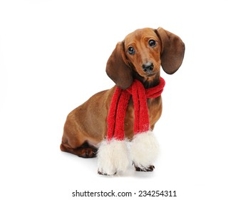 Dachshund puppy with a red christmas scarf