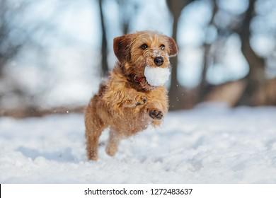 Dachshund puppy running through snow.