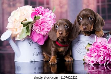 dachshund puppy small