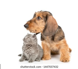 Dachshund puppy and tiny kitten sitting together on empty space. isolated on white background