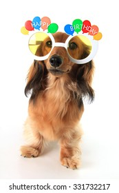 Dachshund puppy wearing Happy Birthday glasses.