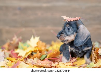Dachshund puppy with a yellow leaf on it head stands on the autumn foliage and looks away on empty space