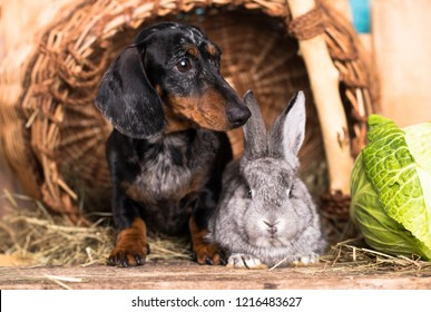 dachshund and rabbit