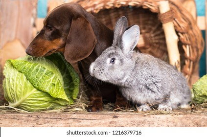 dachshund and rabbit look at the cabbage