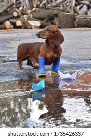 Dachshund in rain boots stands in the puddle