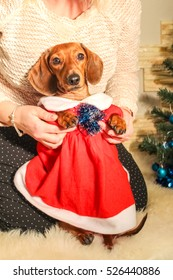 Dachshund in red Christmas dress on a background of the Christmas tree