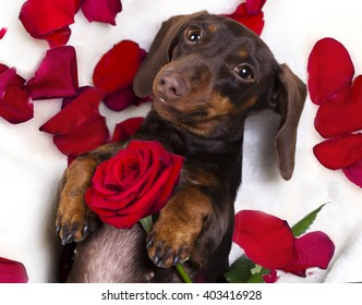 dachshund and red rose