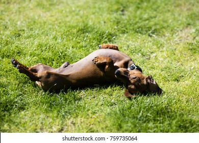 dachshund rolling on back