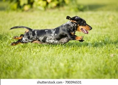 dachshund runs along the green grass