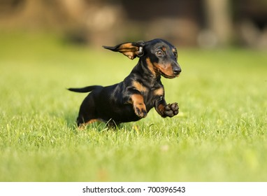 dachshund runs along the green grass