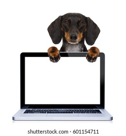 dachshund or sausage dog  behind a laptop pc computer screen, isolated on white background, searching or browsing the internet