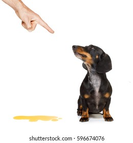 dachshund  sausage dog being punished for urinate or pee  at home by his owner, isolated on white background