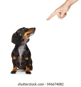 dachshund or sausage dog being punished by owner for very bad behavior , with finger pointing at dog