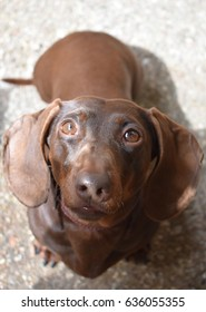 Dachshund, Sausage Dog, Brown, Italy, Tuscany, cute dog, wiener, miniature dog