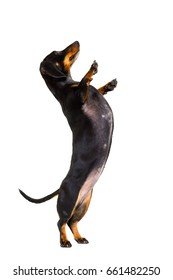 dachshund sausage dog  isolated on white background with high five gesture up right and standing