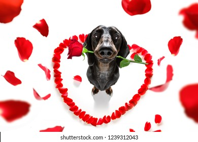 dachshund  sausage dog  in love for happy valentines day with  rose flower in  mouth , isaolated on white background petals flying around in air