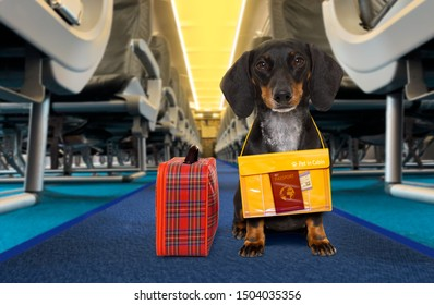 dachshund sausage   dog  wiht luggage bag ready to travel as pet in cabin in plane or airplane as a passanger, for summer vacation holidays